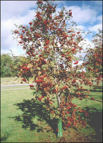 http://www.northernsights.net/rowan-tree-3.jpg